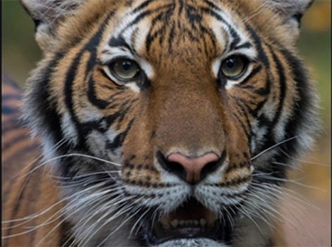 This image has an empty alt attribute; its file name is Tiger-in-the-Bronx-zoo-has-COVID-19.jpg