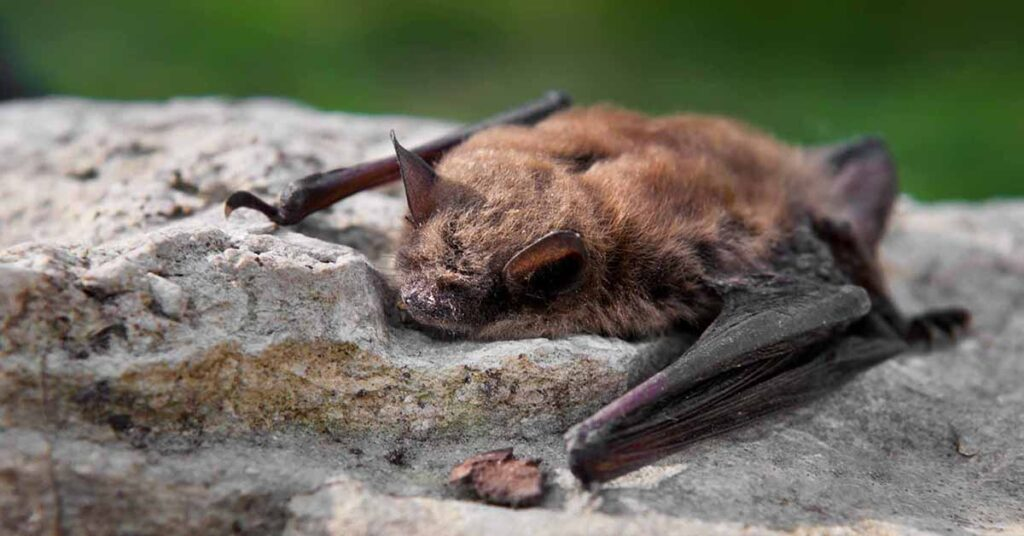 Why COVID-19 is unlikely to spread via local bat populations