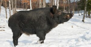 wild boar seen in Magog