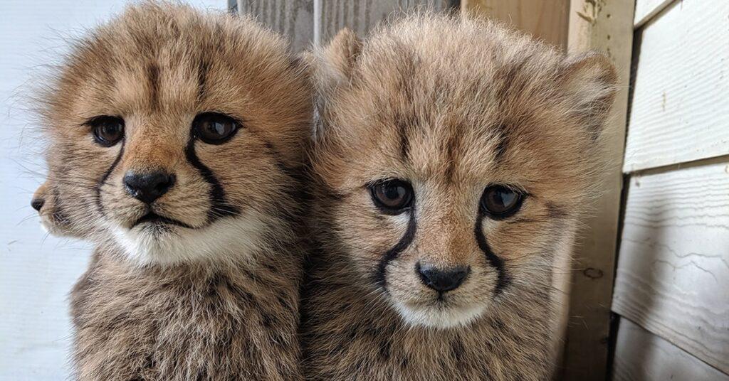 Parc Safari rewilds two cheetahs