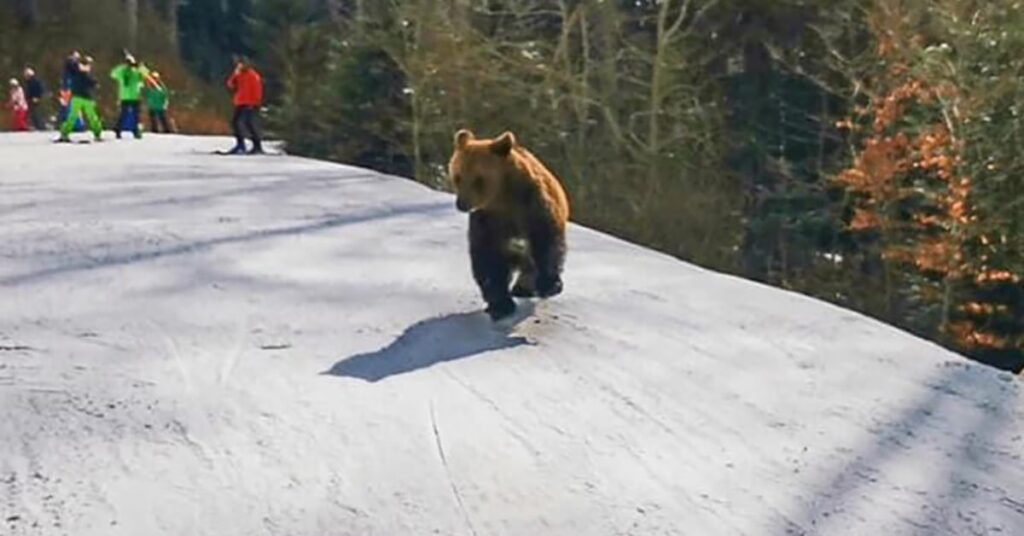 Bear chases ski instructor