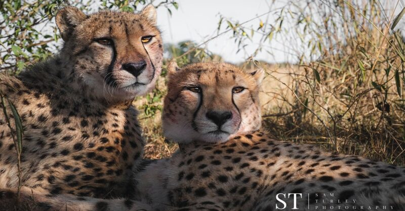 Cheetahs born at Parc Safari