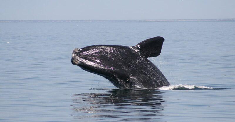 North-Atlantic-right-whale-min