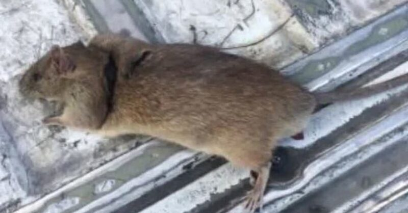 Rodents-infesting-Pierrefonds-min