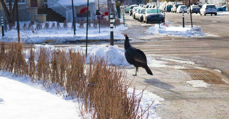 Wild turkey in NDG